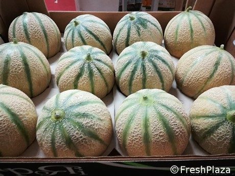 New melon cultivars and rootstocks tested at Coop Sole