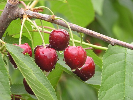regina Increasing popularity of cherries means safe tested varieties are needed