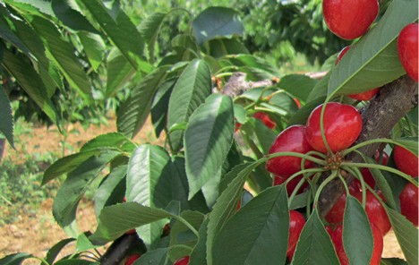 Innovative Rootstocks For The Cherry Tree Sector