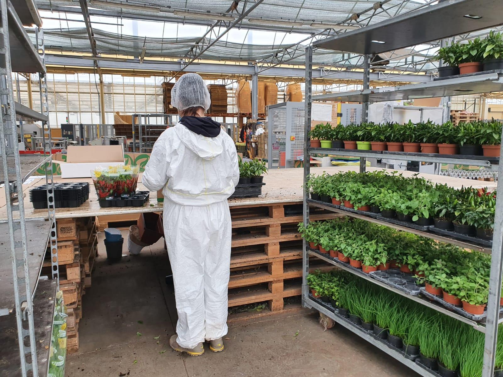 Coltivare In Casa Piante Aromatiche piantine aromatiche da agricoltura biologica da coltivare in
