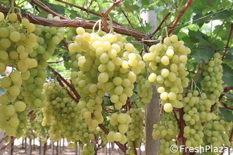 5 kg de semillas de uva naturales prémium sueltas para