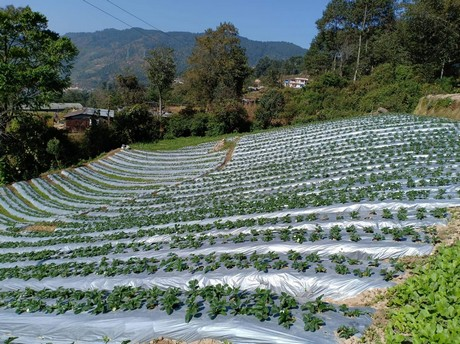 Bringing strawberry cultivation to a higher level, even in the Himalayas