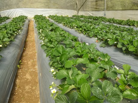 Bringing strawberry cultivation to a higher level, even in