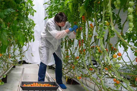Growers can cultivate tomatoes as effectively with