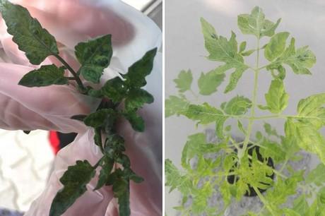 tomatovirus.jpg