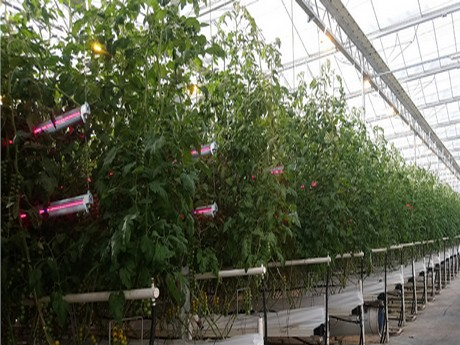"""jonathan barton, director of grow lighting at plessey, explained: """"placing  lighting within the canopy of high wire plants is a way to increase light  levels"""