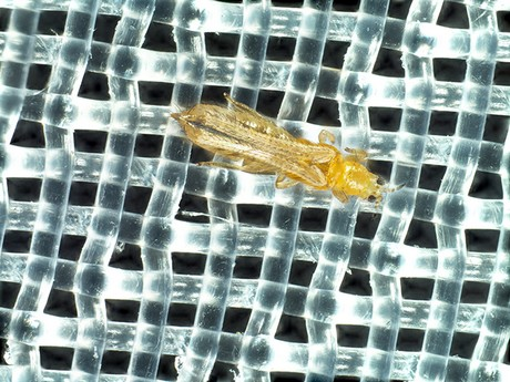 Thrips: The best solution against this pest is not to have