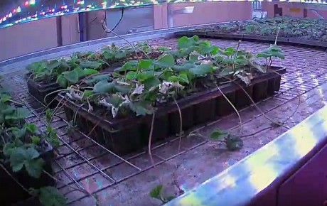 Timelapse: Scottish strawberries in a vertical farm