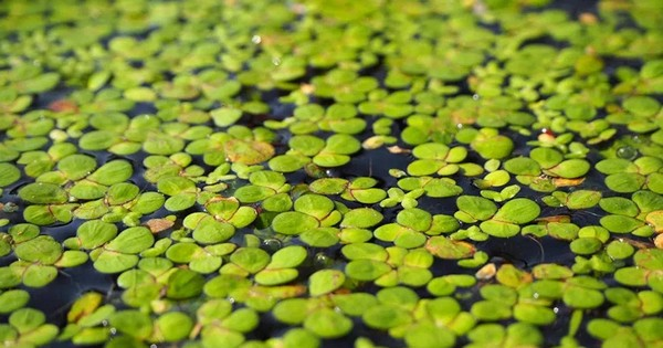 Could duckweed be the next big vertical farm crop?