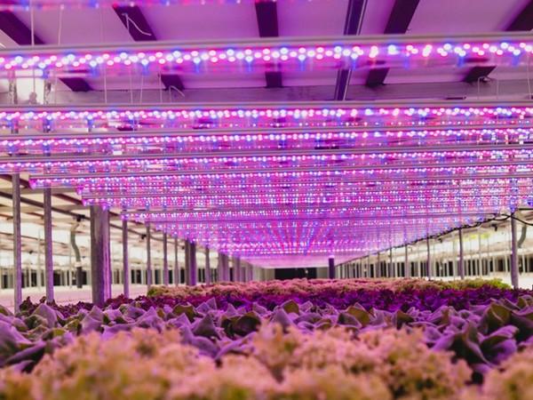 Uae Armela Farms Gears Up To Open 3 Ha Automated Lettuce Farm