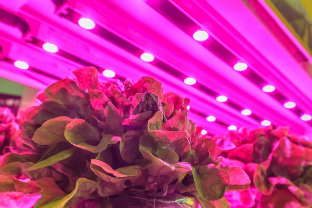 indoor lettuce