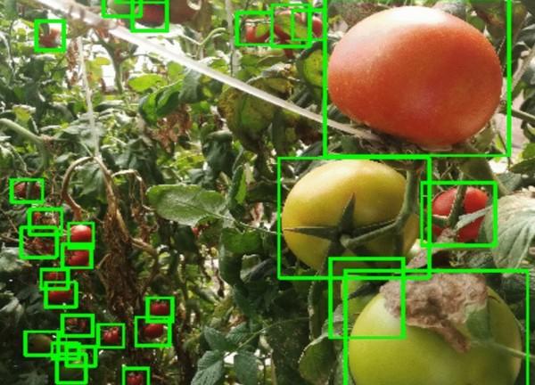 robot tomato picker