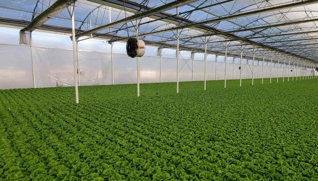 Vacuum Cooling Hydroponic Produce