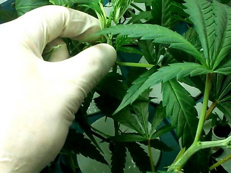 Topping and fimming: high-stress training for maximum yield