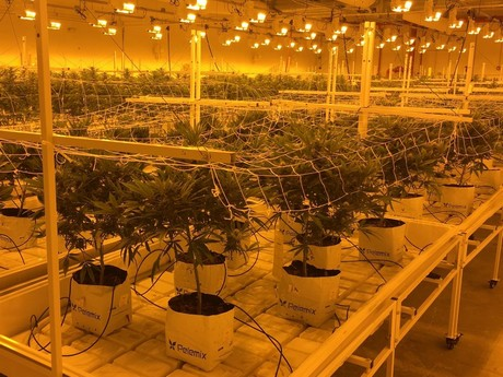 Growers are looking for uniform plants with a consistent